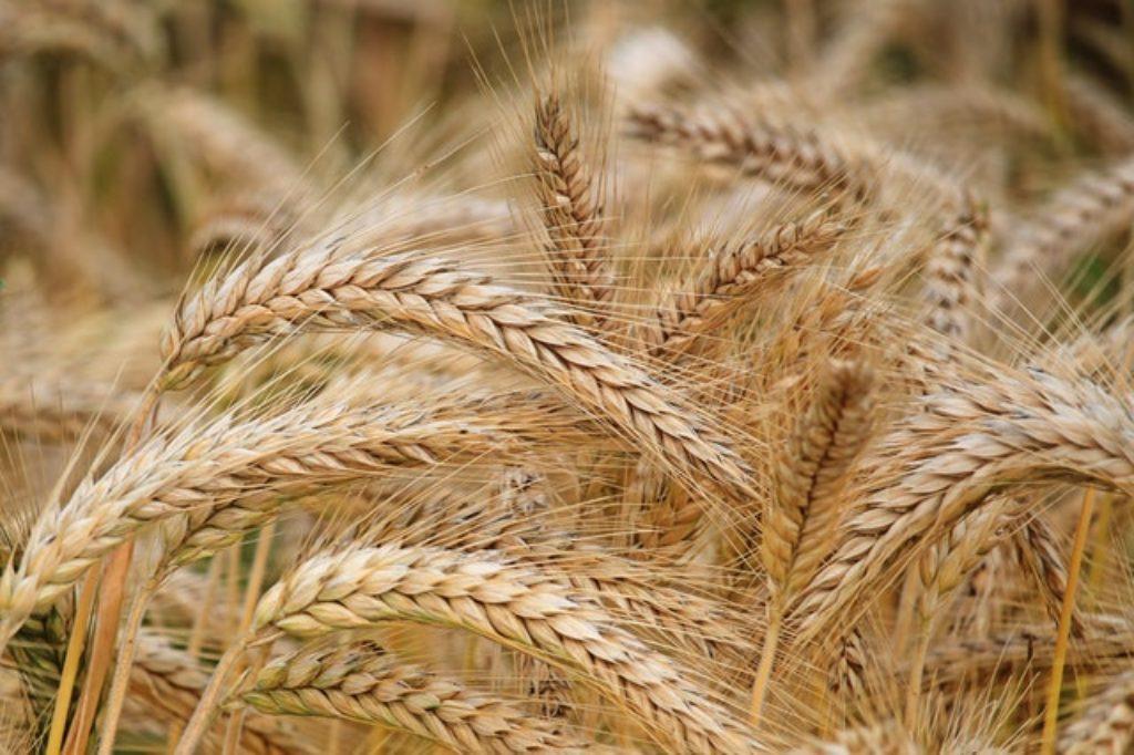 Šokujúca pravda o lepku v pšenici. Je pre nás naozaj zlý?